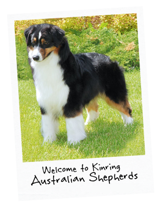 dog standing in grass with title: Welcome to Kinring Australian Shepherds and Corgi